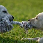 Tug of War With Your Dog – Play Safe, Play by the Rules