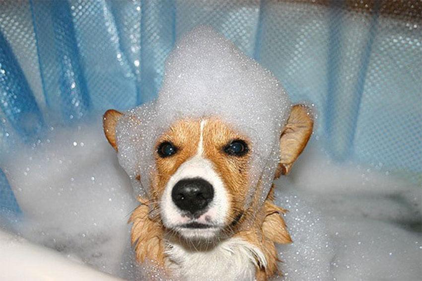 Resultado de imagen para corgi bath