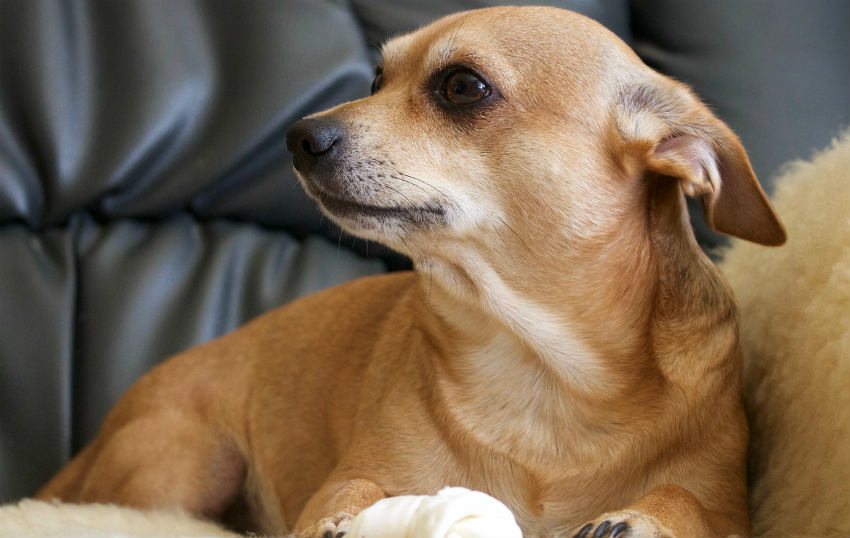 Training Your Dog To Stay Off The Comfy Couch Woof Report The