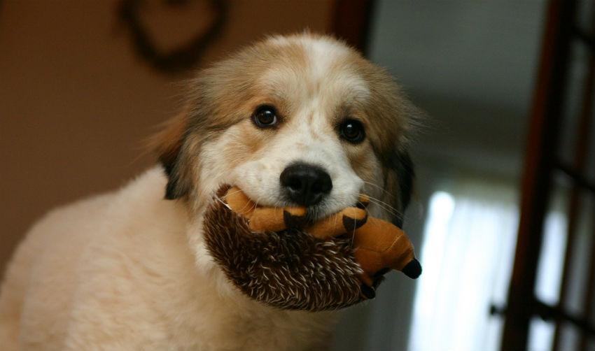 dạy chó đánh hơi tìm đồ vật