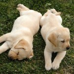 AKC's 2011 Top Dog Breeds by City