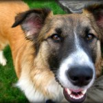 German Shepherd Most Breed Popular in Nation's Mixed Breed Dogs