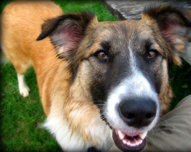 German Shepherd Most Breed Popular in Nation's Mixed Breed ...