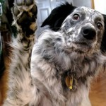 All About Paw Preference in Dogs