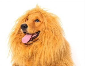 dog lion halloween costume