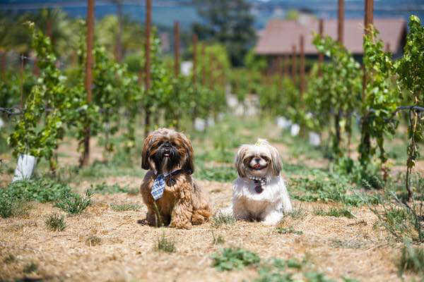 dog-friendly-wineries
