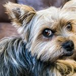 Study Explains What Prompts the Guilty Look in Dogs